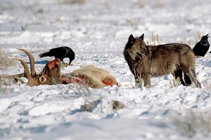 Have returning wolves really saved Yellowstone?