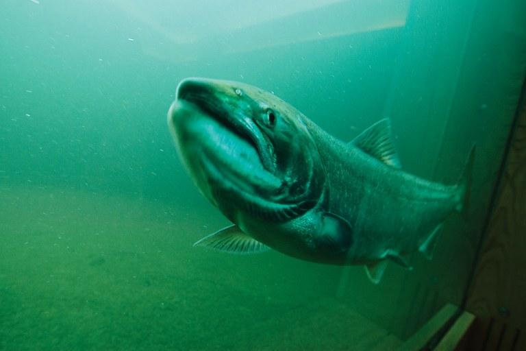 salmon9-jpg