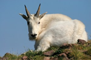 Non-native goats in Utah's La Sal Mountains