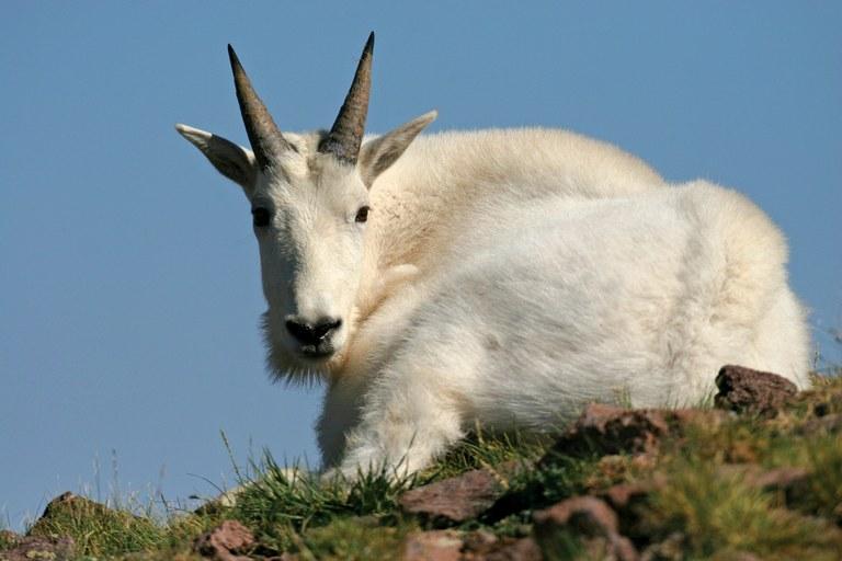 http://www.hcn.org/issues/46.22/non-native-goats-in-utahs-la-sal-mountains/goats1-jpg/@@images/d5c9f75d-b0c8-4184-8ea7-f9a67e6adc55.jpeg