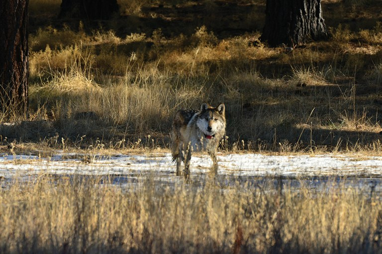A Mexican gray wolf in the Gila borderlands of New Mexico and Ar