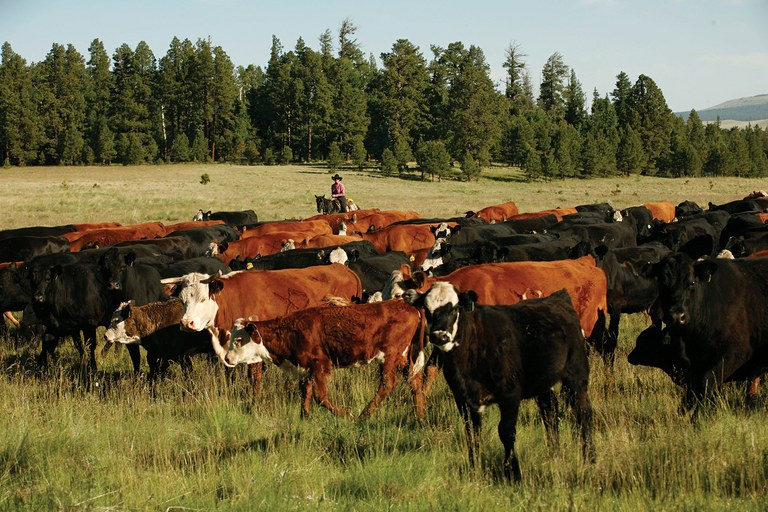 Tending cattle in Mexican wolf country, at the X Diamond Ranch on the Apache-Sitgreaves National Forest, in the far northern part of the greater Gila bioregion.