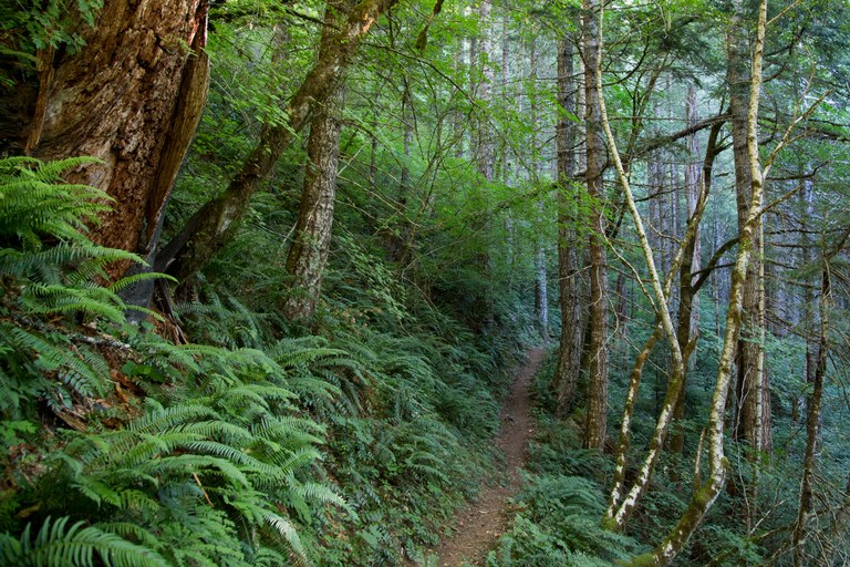 PCT Mile 2175: Lush forest, Gifford Pinchot National Forest, Washington.