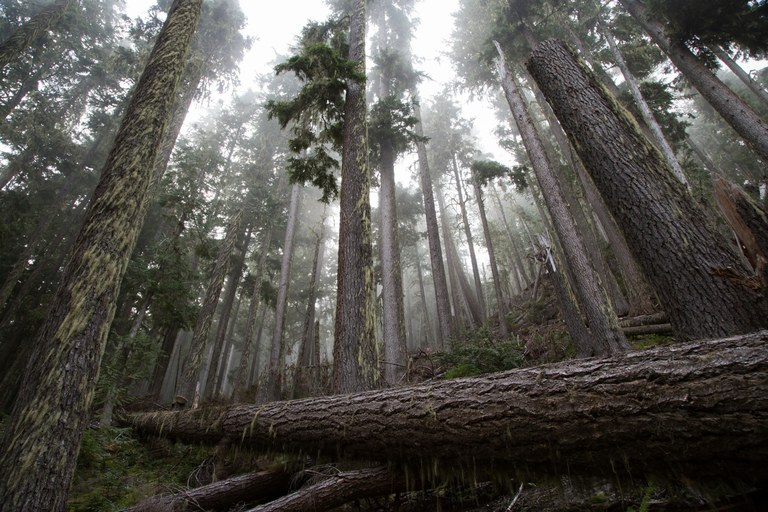 PCT Mile 2555: Forest in fog, Glacier Peak Wilderness, Washington.