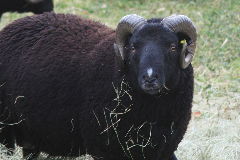 A black Welsh mountain sheep owned by Paonia, Colorado, farmer Oogie McGuire, who collaborates with the National Center for Genetic Resources Preservation to help researchers develop better methods for freezing sheep semen.