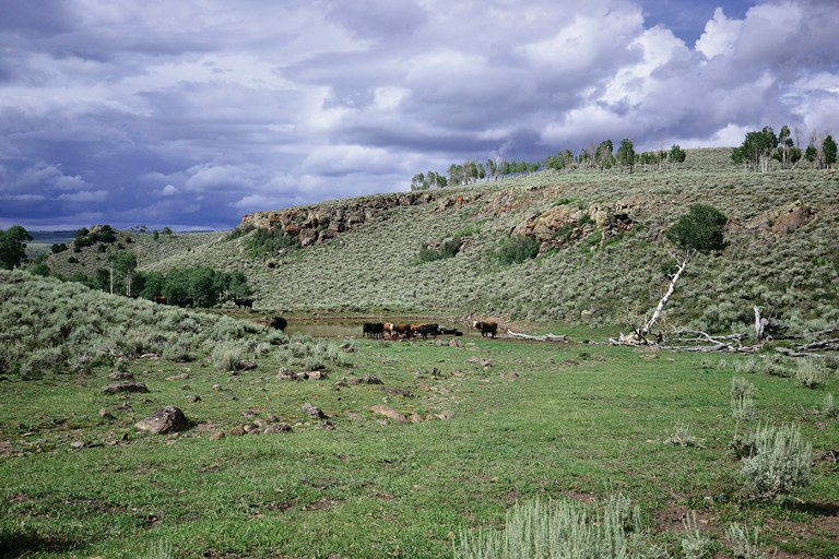 Cattle graze on Monroe Mountain where they've stripped the new growth from the aspens on the ridgeline.