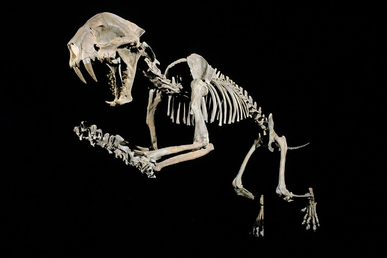 The fossil skeleton of a saber-toothed cat. In his latest book, author Doug Peacock wonders whether prehistoric human life holds lessons for the future.