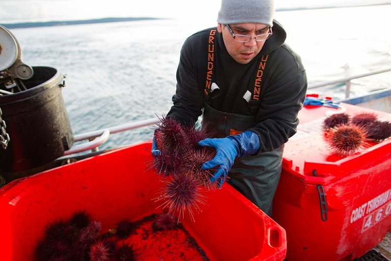 Deckhand Jason Paul sorts red sea urchins aboard the Frayed Knot.