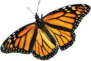 The farm bill and the precipitous decline of monarch butterflies