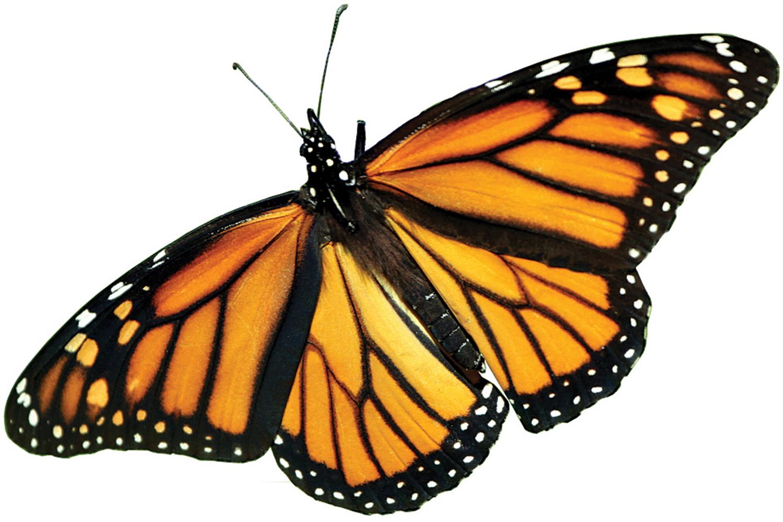 The Farm Bill And The Precipitous Decline Of Monarch Butterflies The Farm Bill And The