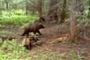 A bear named Irene