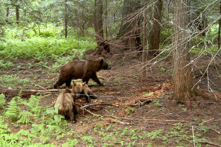 Irene, officially known as Bear 286, was instrumental to the success of the  Cabinet-Yaak Ecosystem grizzly augmentation program. Relocated from British Columbia in 1993, she eventually bore nine cubs. In 2009, a camera trap captured this image of Irene with two yearlings. The line across the middle of the frame is barbed wire meant to snag bear fur to be used for DNA testing; the pile of sticks between the young bears hides a lure.