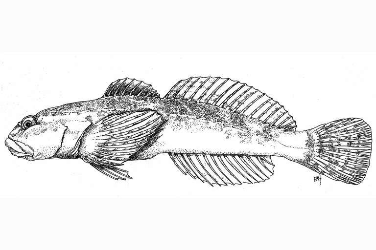 Illustration of the cedar sculpin, Cottus schitsuumsh, a newly identified species of sculpin.