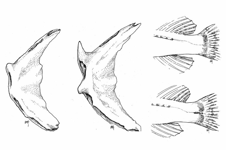 Details of the cedar sculpin, left and top, and shorthead sculpin. At left, preopercular bone; at right, the narrow area where the tail attaches.