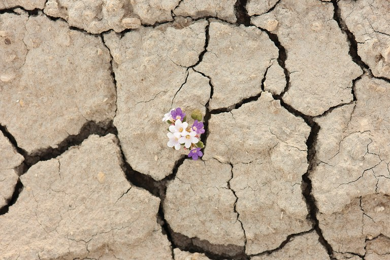 Brittle phacelia and cracked earth, Utah desert.