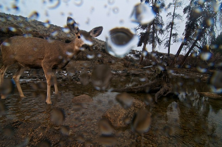 A doe glances at a camera trap at one of many creek and lake crossings along the migration path.