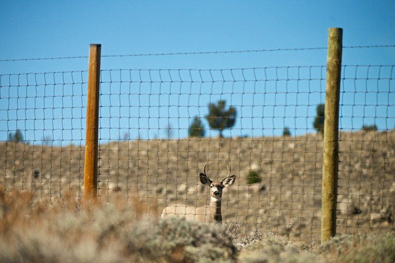 A young buck mule deer navigating an elk fence. Deer can't clear the high elk fences, which are designed to keep elk off private land.
