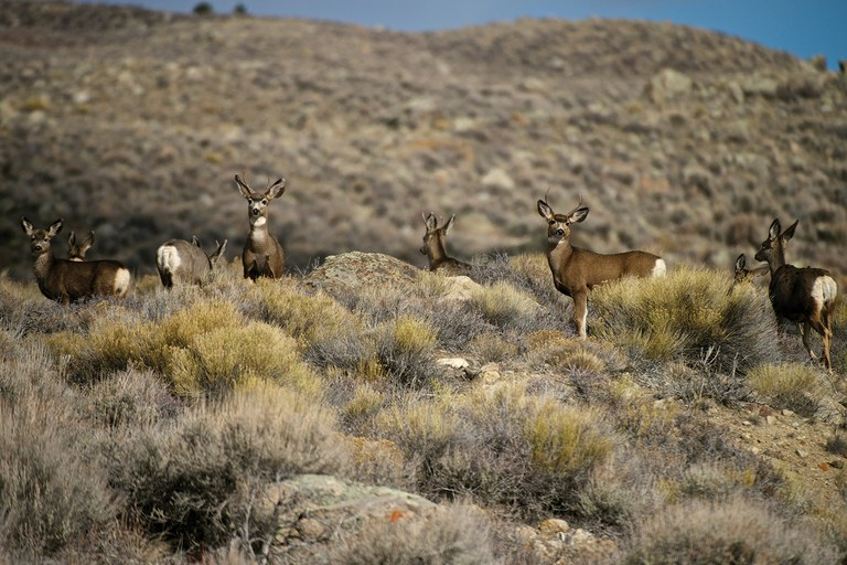 By winter's end, the deer have been losing weight for months and are nearly starved. Their journey back to the mountains helps them make the most of Wyoming's short growing season and put on fat to survive the next winter.