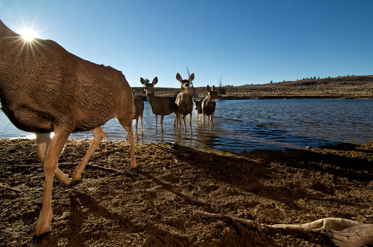 A herd of mule deer shakes off after crossing the Fremont Lake outlet just north of the town of Pinedale.