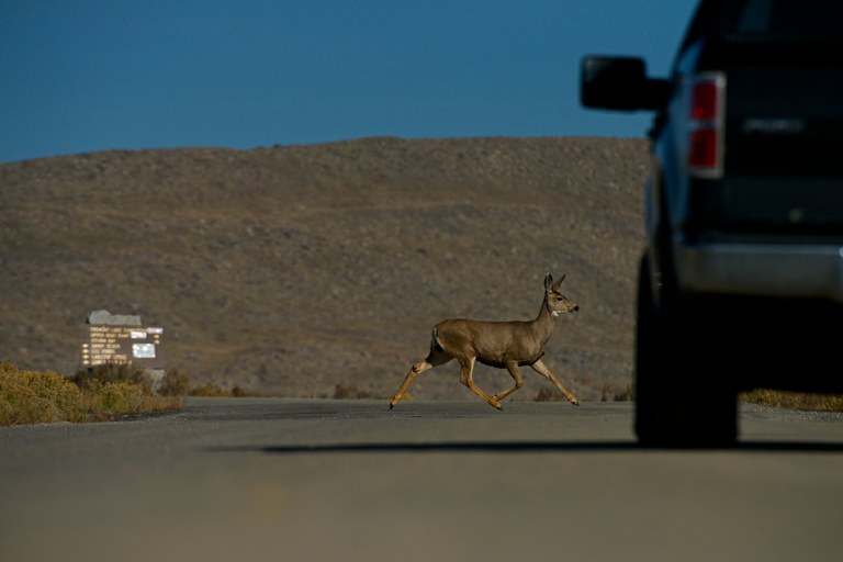 A doe mule deer crosses a road at the southern end of Fremont Lake near Pinedale. This area is a pinch point for many deer.