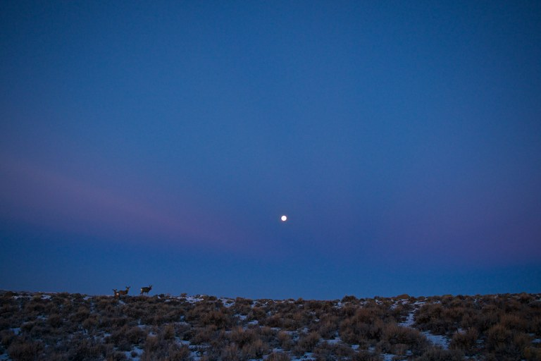 A herd of mule deer on the move. They often travel in early morning and evening, and sometimes at night.