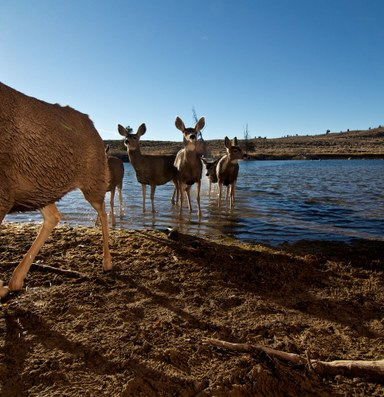Video of epic mule deer migration
