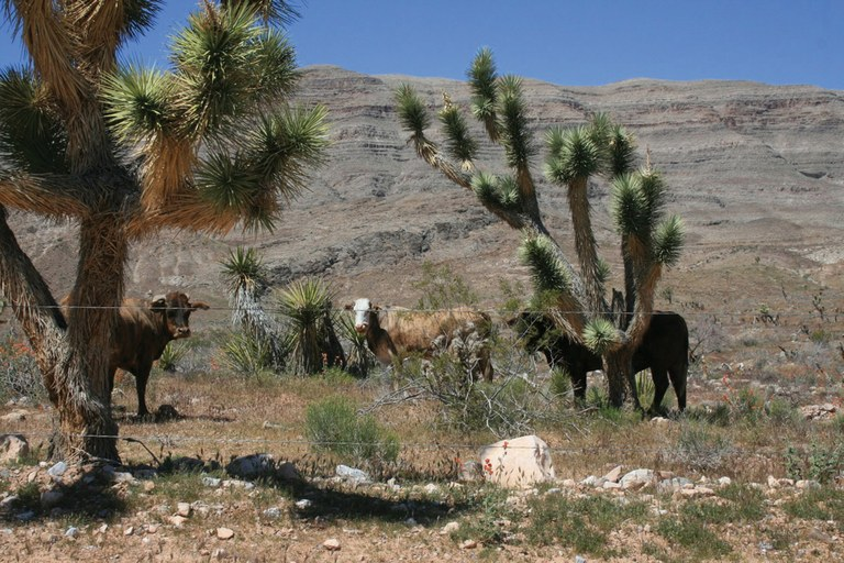 Some of Cliven Bundy's cattle graze near a spring in Gold Butte, an area completely closed to grazing.