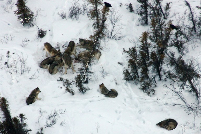 The Lost Creek wolf pack feeds on a caribou kill in 2012.