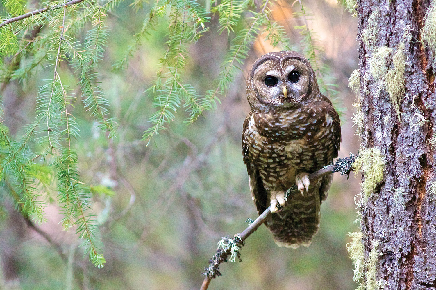 spotted owl essay Get inspiration from tons of forestry essays, research papers & term papers   his decision forbade timber sales across the spotted owl region until the forest.