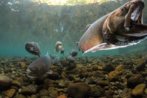 A bull trout reintroduction in Oregon proves what's possible