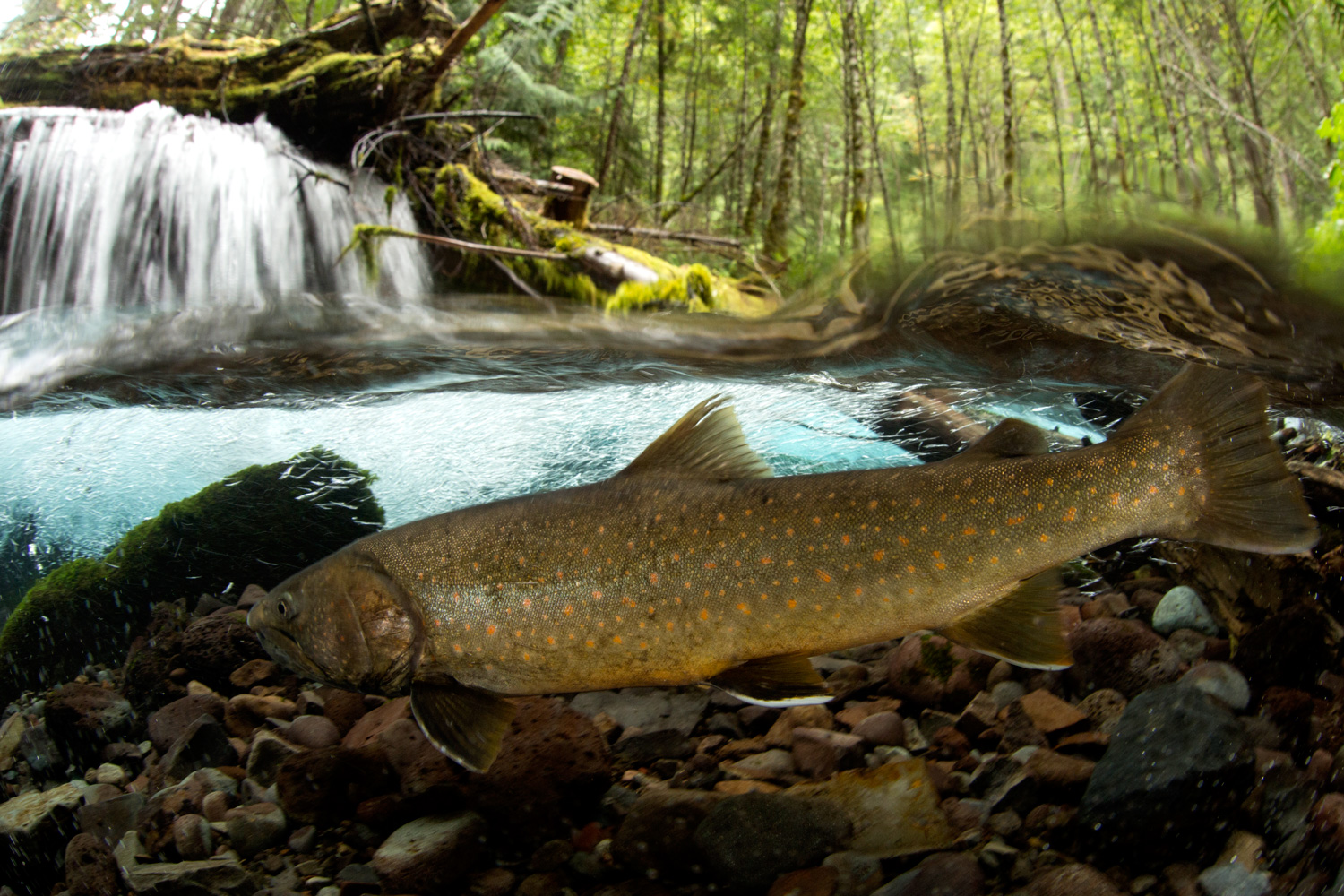 A bull trout reintroduction in oregon proves what s for Oregon free fishing