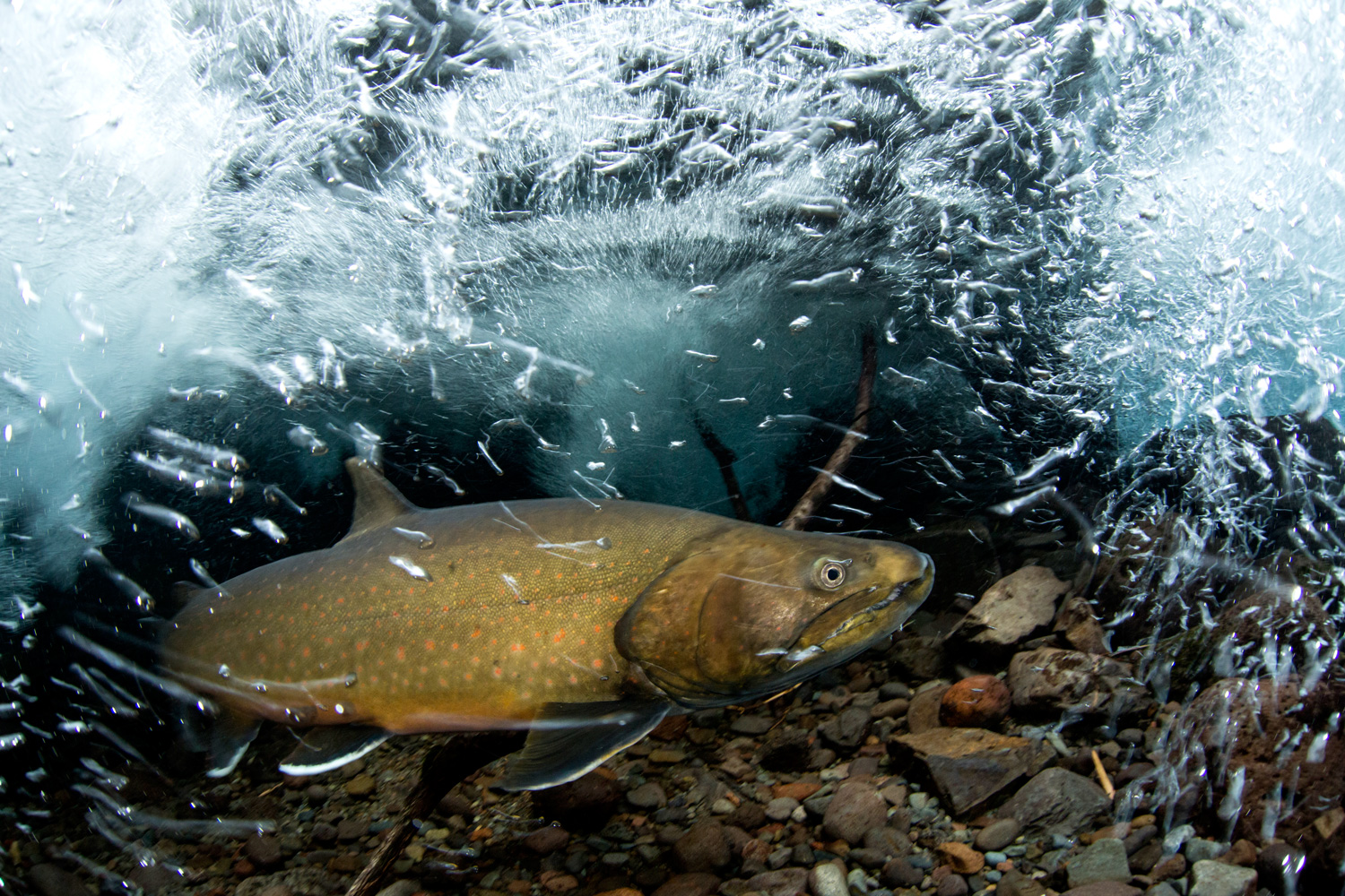 A bull trout reintroduction in oregon proves what s for Oregon fish and wildlife jobs