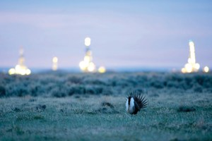 The sage grouse two-step