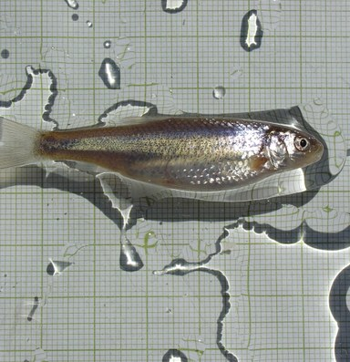 Does the fate of the silvery minnow foretell the Rio Grande's future?