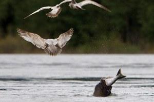 Sea lions feast on Columbia salmon
