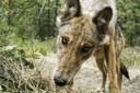 Washington welcomes wolves back — across deep political divides