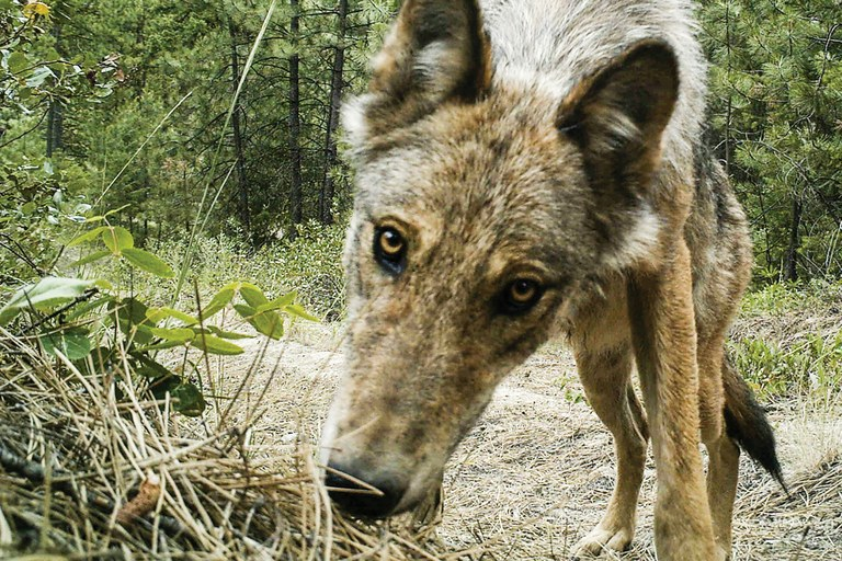Washington welcomes wolves back across deep political for Washington fish and wildlife jobs