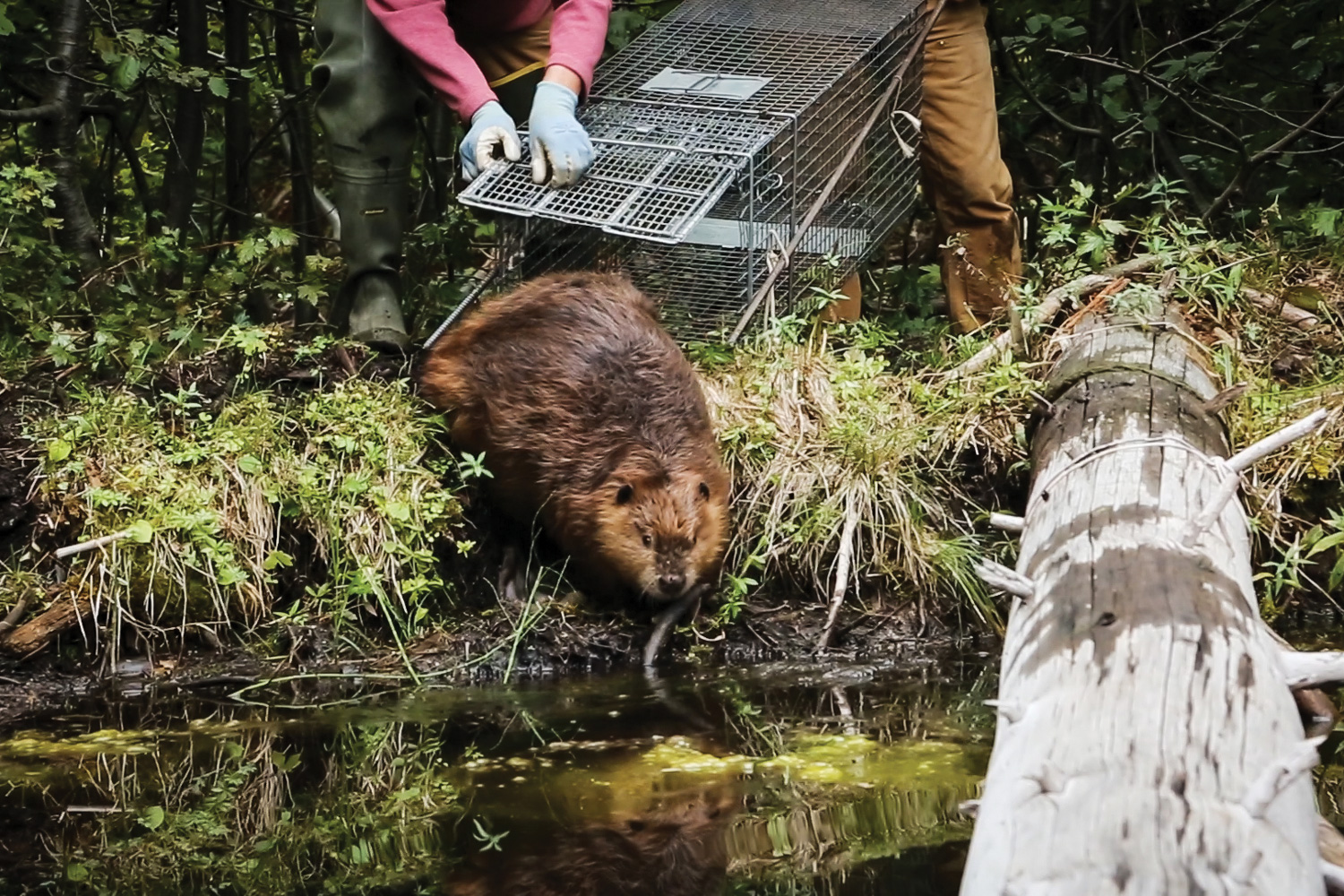 The beaver whisperer beaver fever high country news for What age do you need a fishing license in texas