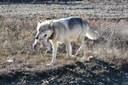 Latest: National Park Service intervenes in Alaska predator hunting