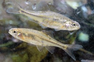 Latest: Oregon chub is no longer endangered