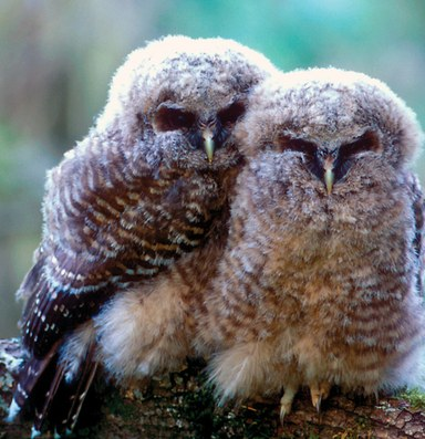 The Latest: Feds consider uplisting northern spotted owl to endangered