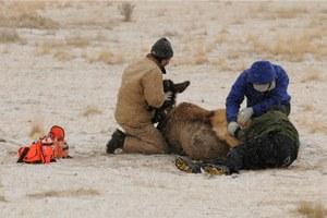 Wasting disease in wildlife inches toward Yellowstone