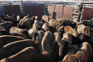 Latest: Yellowstone officials to cull hundreds of bison