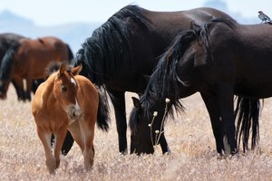 Latest: The BLM to study surgical sterilization of wild horses