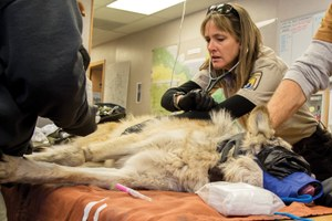 Line of descent: How poor management left Mexican wolves dangerously inbred