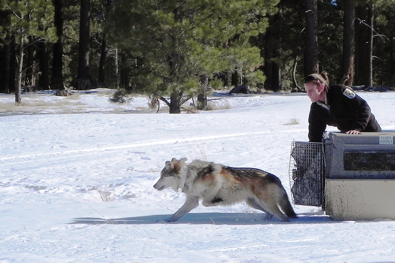 Biologist Maggie Dwire Releases A Mexican Gray Wolf That Had Been Living At  The Endangered Wolf Center In St Louis Into The Wild In The  Apachesitgreaves