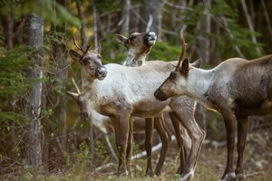 In Canada, mountain caribou recovery falters