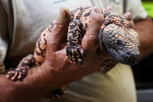 In Arizona, reptile poaching made easy