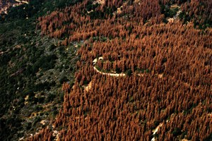 Latest: California's tree die-off is bigger than you thought
