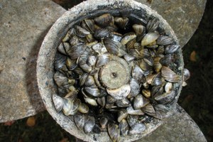 Latest: Invasive zebra mussels have reached Montana